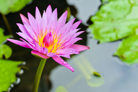 Pink water lily flower photo