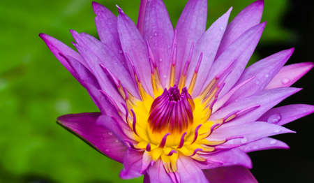 Close-up of pink water lily photo