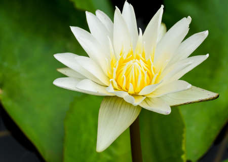 White water lily flower blooming photo