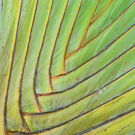 Petiole pattern of  Traveller s Palm Stock Photo - 16783674