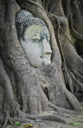 Head of Buddha in a tree trunk, Wat Mahathat, Ayutthaya,Thailand photo
