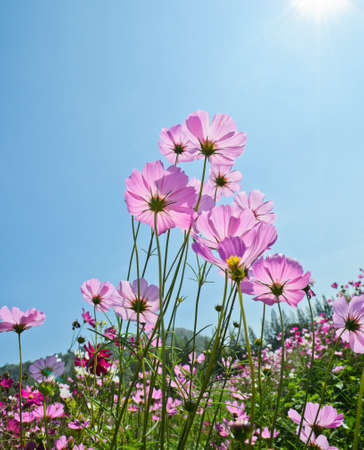 Cosmos flower in blue sky photo