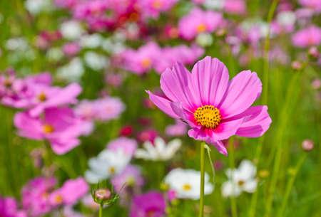 cosmos flowers: Pink Cosmos Flower