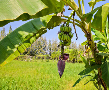 Banana tree with fruit and inflorescence photo