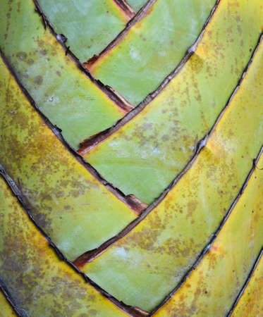 Petiole pattern of Traveller s Palm photo