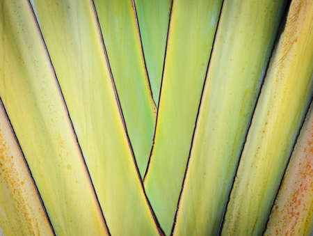 Petiole pattern of Traveller s Palm Stock Photo - 17205038
