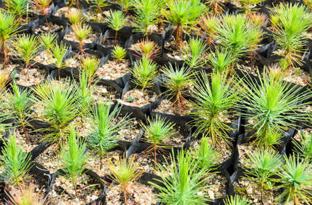 Pine tree nursery for reforestation