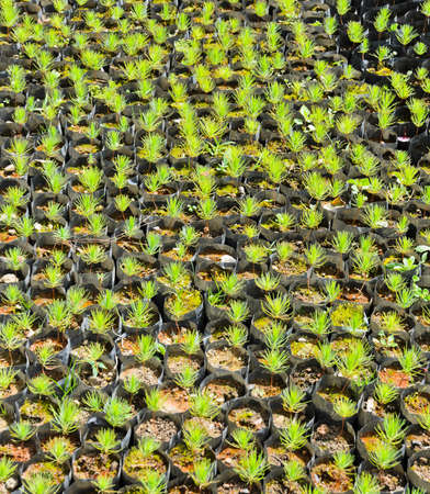 Pine tree nursery for reforestation photo