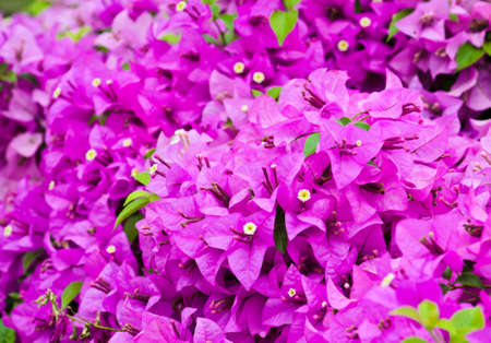 Purple Bougainvillea flower photo