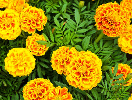 French marigold flower or Tagetes patula Stock Photo