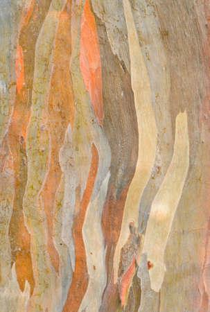 Hintergrund des Regenbogens Eukalyptus Baumrinde
