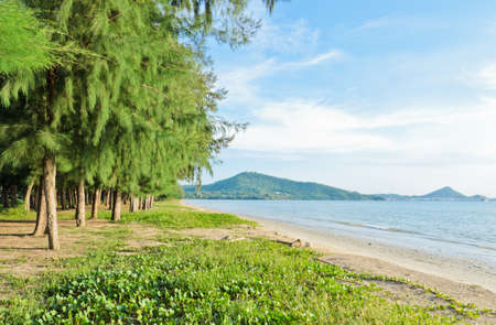 pes caprae: Tropical beach with Casuarina tree array Stock Photo