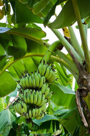 Banana tree with fruit photo