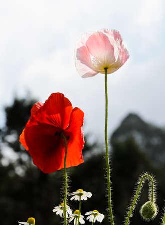 papaver: Opium poppy flower  Papaver somniferum  Stock Photo