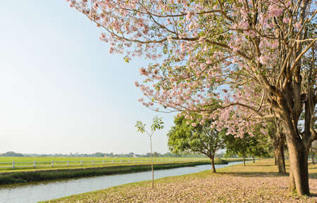 Scenery green field with pink trumpet blossom photo