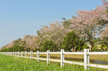 White fence with pink trumpet trees   photo