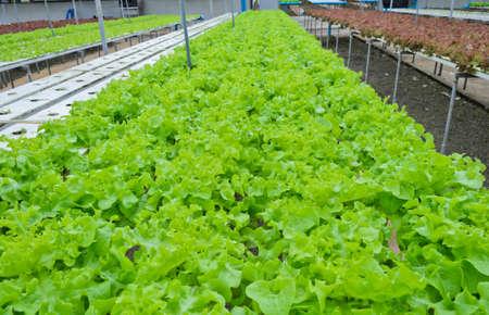 Hydrokultur-Gemüsefarm in Thailand Standard-Bild - 22659775