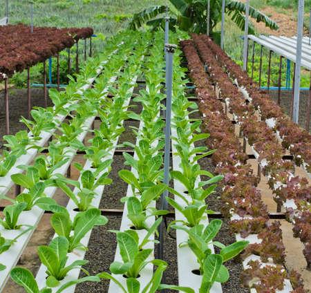 Blattsalat Plantage in Hydrokultur-System Standard-Bild - 23080304