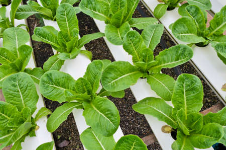 romaine: Romaine lettuce plantation in Hydroponics system Stock Photo