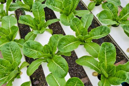 Romaine lettuce plantation in Hydroponics system Standard-Bild