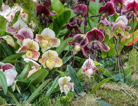 lady slipper: Lady slipper orchid  Paphiopedilum  flower