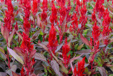 Plumed cockscomb blossom or Celosia argentea  photo