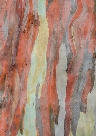 Colorful abstract pattern of Eucalyptus deglupta tree bark photo