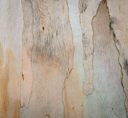 Eucalyptus tree bark texture   photo
