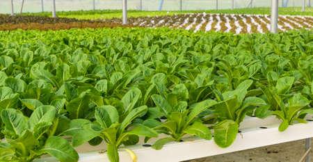 romaine: Romaine lettuce Hydroponic vegetables plantation Stock Photo