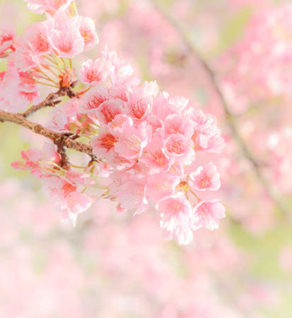 Pink cherry flower background photo