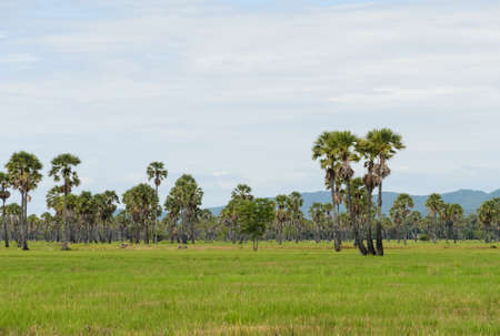 Sugar palm trees on the rice field in Thailand photo