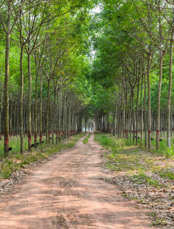 Rubber tree plantation in Thailand  photo