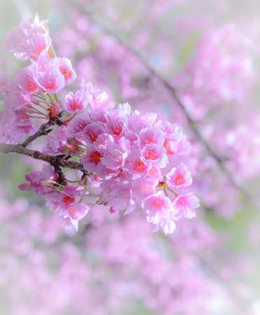 Beautiful pink cherry blossom photo