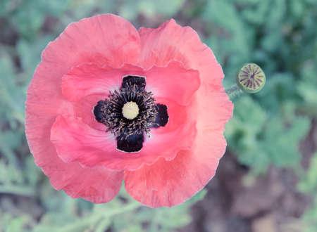 morphine: Poppy flowers with bud