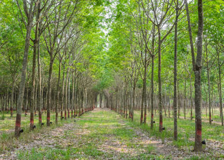 Row of rubber tree plantation photo