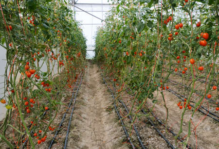 Grape tomato plantation photo