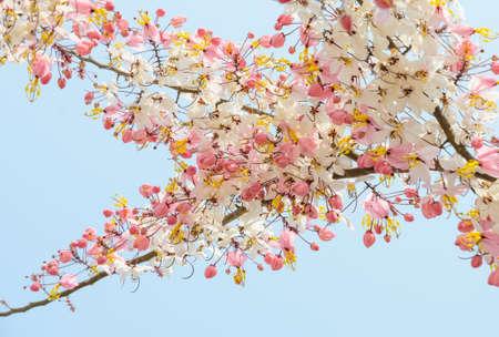 cassia: Pink shower blossom (Cassia javanica)