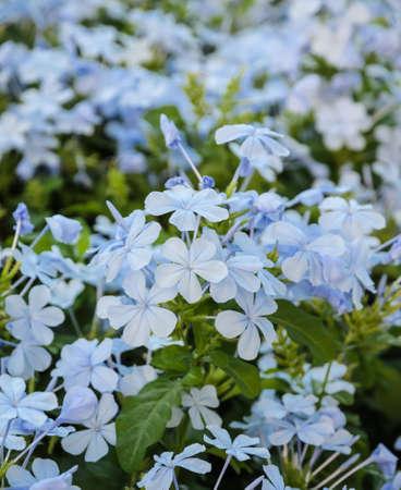 auriculata: Blue plumbago or Plumbago auriculata flower