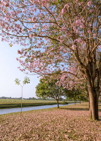 Beautiful view of pink trumpet or tabebuia blossom photo