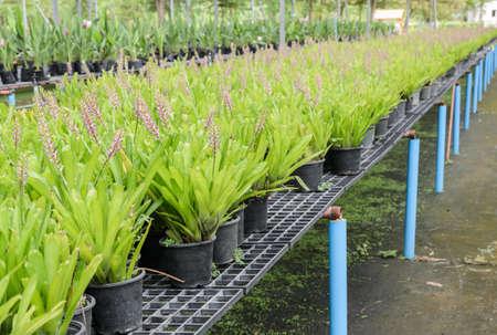 aechmea: Bromeliad or Aechmea lueddemanniana in flower pots Stock Photo