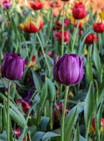 Beautiful purple tulip blossom in field photo