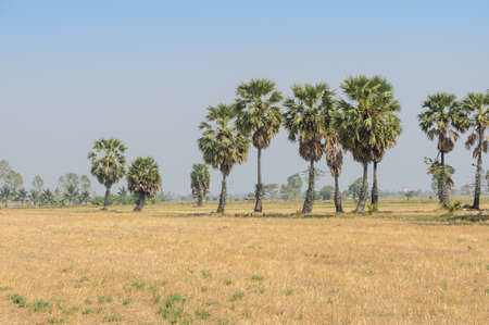 Sugar palms (borassus flabellifer) on the rice field after harvested in Petchaburi, Thailand photo