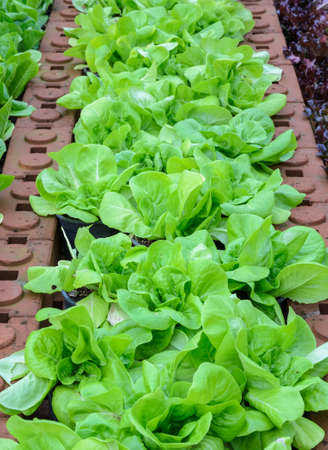 Butterhead lettuce vegetable plant