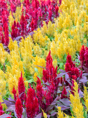 Colorful plumed cockscomb flower or Celosia argentea blossom photo