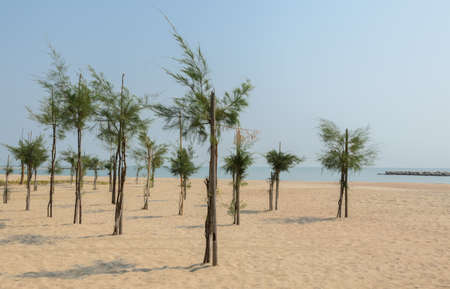 tree plantation: Pine tree plantation on beach