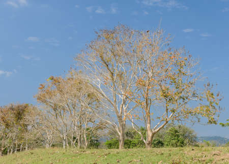 deciduous: Row of  deciduous tree in sunny day Stock Photo