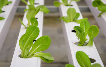 Organic Hydroponic vegetables plantation in aquaponics system