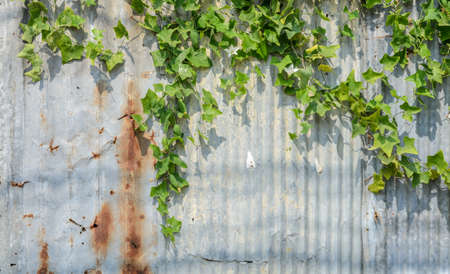 corrugate: Ivy gourd or Coccina Grandis plant on corrugate wall Stock Photo