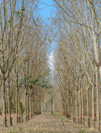 Rubber Plantation in annual autumn leaf drop photo