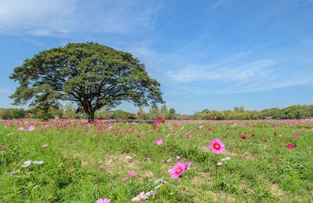 samanea saman: Beautiful view of cosmos flower field with big tree